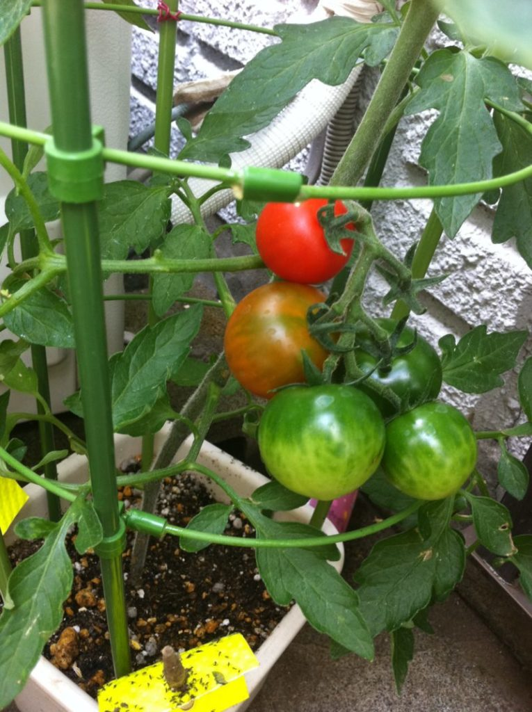 自家栽培のトマト