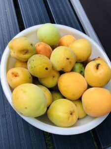 自家栽培の完熟梅